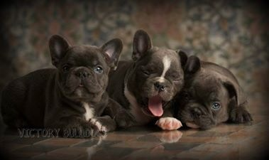 Victory Home Champion English And French Bulldogs